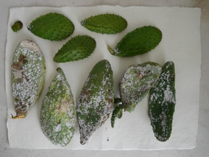 5 opuntia pads infected with cochineal